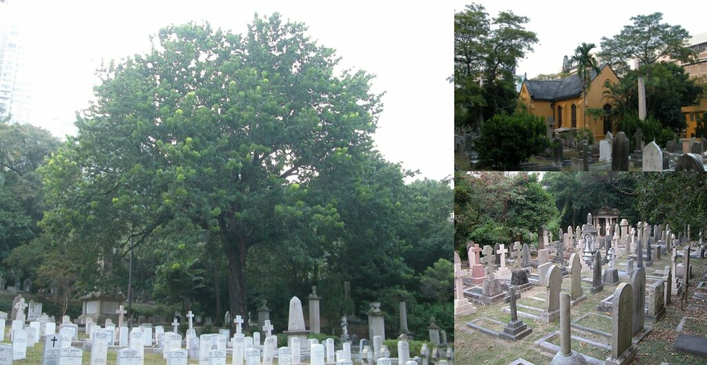 ???? ???? Hong Kong Colonial Cemetery, the Oldest HK Chapel and West Indies Mahogany ????, Hong Kong