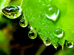 Raindrops (Channed) Tags: plant macro green leave nature wet water leaves rain garden droplets drops flora waterdrop groen day drop explore raindrops droplet tuin waterdrops regen mantle raindrop waterdruppels blaadje alchemilla druppels ladysmantle vrouwenmantel regendruppels explored chantalnederstigt