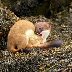 LET GO ,THAT HURTS (blackfox wildlife and nature imaging) Tags: nature wales canon conway wildlife mammals stoat rspb stoats 40d 400mml