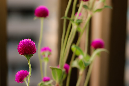 My Globe Amaranth