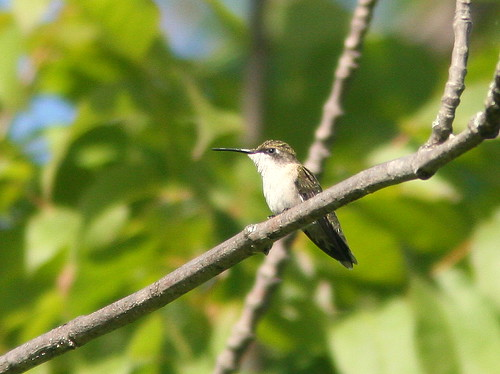 Ruby-throated Hummingbird 20100827