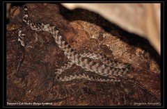 Forsten's Cat Snake (Boiga forsteni) (S A R P A) Tags: