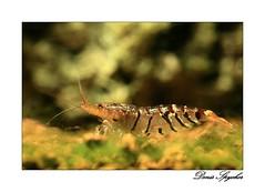 "Caridina cf. cantonensis ""Tiger"" (Denis Spycher) Tags: fish macro water aquarium underwater tank tiger shrimp poisson cf crevette garnelle caridina tuger cantonensis invertbr"
