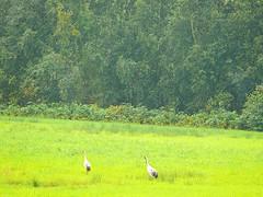 Cranes, Sjhagen (fam_nordstrom) Tags: heron sweden sverige suecia 2010 katrineholm garza sdermanland hger vingker grhger kolsnaren sjhagen