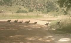 wild turkeys, southwestern South Dakota