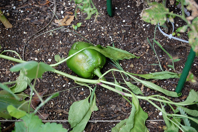 green pepper tragedy