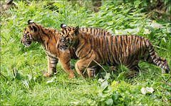 Sumatran Tiger Cubs (Foto Martien (thanks for over 2.000.000 views)) Tags: holland netherlands dutch animal cat sumatra indonesia zoo rotterdam kat brothers tiger nederland gio bigcat cubs sumatrantiger wildcat tijger rare indonesi dierentuin vanni zuidholland dierenpark broers welpen diergaardeblijdorp sumatratiger zeldzaam pantheratigrissumatrae giovannivanbronckhorst a550 tigredesumatra peetvader zoorotterdam martienuiterweerd sumatraansetijgers martienarnhem sony70300gssmlens sonyalpha550 fotomartien bornmay212010 21mei2010geboren