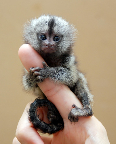 Marmoset monkey by floridapfe