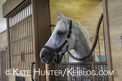 Silver Charm (KeibaKate) Tags: horse japan grey hokkaido gray breeding 1997 horseracing stud stallion racehorse thoroughbred kentuckyderby iburi silvercharm jbba 1997kentuckyderby 97derby japanbloodhorsebreedersassociation