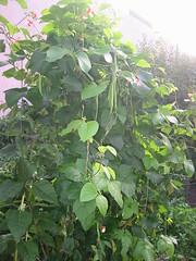 GardenRunnerBeans