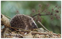 the little hedgehog (Michiel Thomas) Tags: kid klein little young hedge hedgehog groningen hog youngster juvenile erizo petit jeune igel egel naturesfinest hrisson egeltje moruno commun erinaceuseuropaeus eenrum dekleineplantage erizomoruno hrissonne kleineplantage stacheligel hrissoncommun