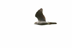 HNS_9461 Sperwer : Epervier d'Europe : Accipiter nisus : Sperber : Northern Sparrow Hawk