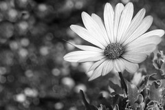 DSC_2579 (morganjellen) Tags: blackandwhite africandaisy flower garden bokeh macro
