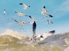Gulls and Sea (ericanderson7) Tags: gulfofmexico gulls