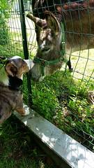 FB_IMG_1492852330016 (Daniella Velings) Tags: donkey ezel dog hond welshcorgicardigan corgi loki sirloki bluemerle cute schattig animallove laroche larocheenardenne belgium netherlands photography mydog