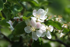 White (eric zijn fotoos) Tags: sonyrx10111 holland flower makro nederland bloem nature sonyrxiii light macro sonyrx10m3 licht detail noordholland flora natuur