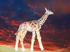 Girafe - Giraffe (8) (artiste24artiste241) Tags: girafe safari jungle sauvage zoo savane parc réserve mammifère