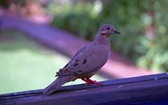 Eared Dove (P. Stubbs photo) Tags: zanaidaauriculata eareddove