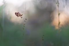 Nacré (donlope1) Tags: macro nature light papillo butterfly nacré lepidoptère sunset sun bokeh dof proxy proxi macrodreams