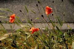 Poppies and weeds on rye (mkk707) Tags: epsonrd1x seikoepsonstyle leitzsummicronmi5cmcollapsible sooic icx413aq sony ccd vintagelens vintagedigitalcamera bokeh