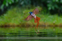 Asian paradise flycatcher male, rufous morph (Normsnature) Tags: asianparadiseflycatchermale rufousmorph nikon nature normanngphotography wildlife d500 malaysia china 200mm