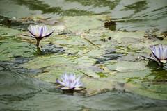 Water Lily (ddsnet) Tags: plant flower waterlily sony taiwan aquatic   taoyuan aquaticplants 900         lily water  tetragona water   900 lily nymphaeatetragona    nymphaea plants   aquatic nymphaea tetragona plantsnymphaea tetragona