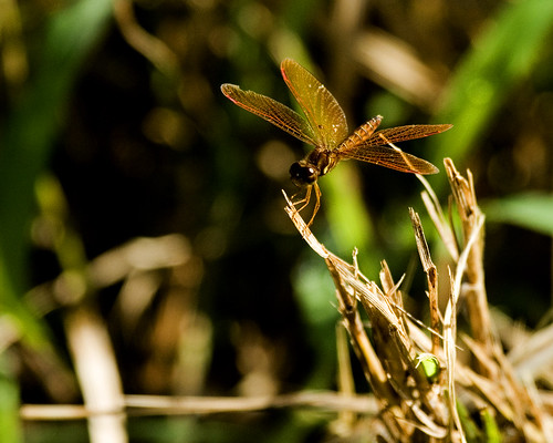 AmberwingDragonflyEmiquonClarkRd07252010JGWard_MG_6678