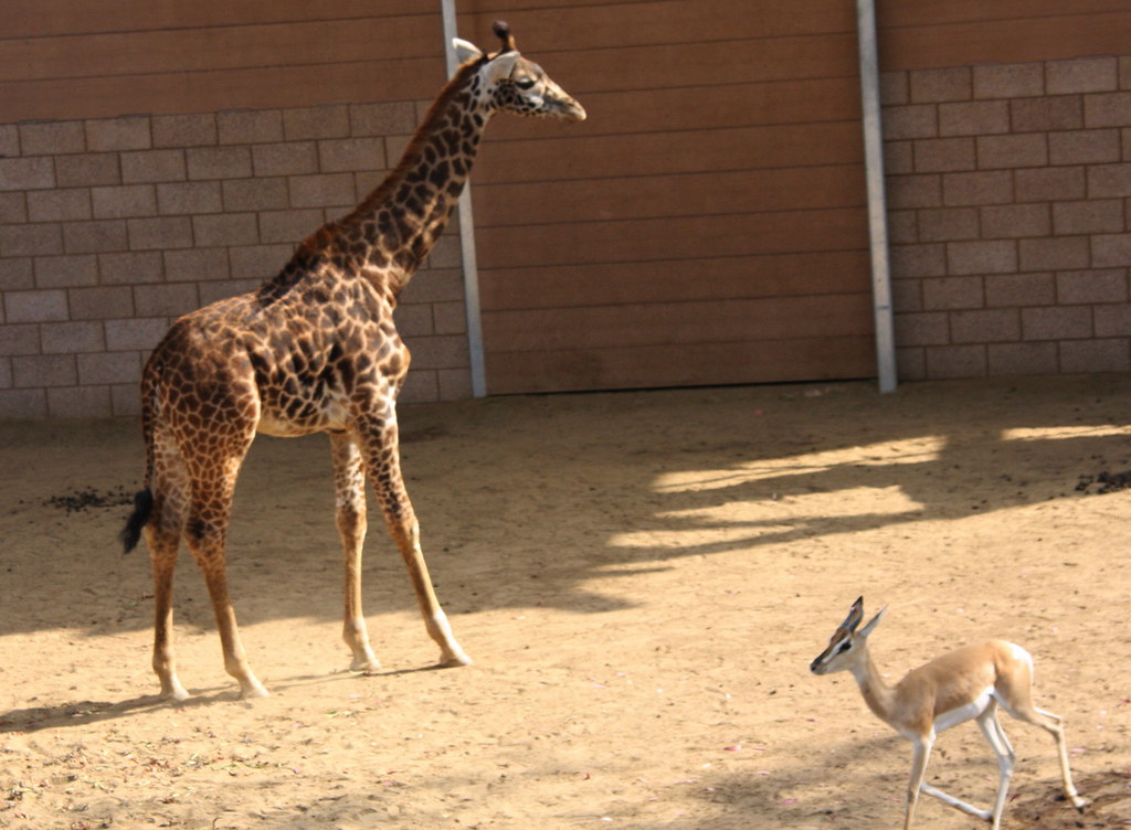 Masai Giraffe Baby and Soemmerrings Gazelle