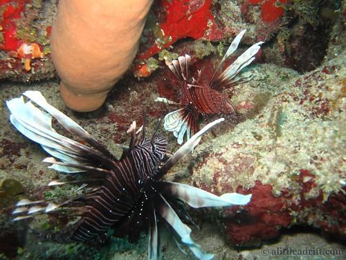 Lionfish Utila Honduras