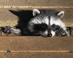 peeks at you (favourite waste of time) Tags: cute mask porch coon peek raccoon bandit destructive