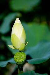 37 () Tags: expo lotus  shanghai pavilion 2010  chengdu