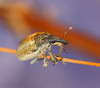 insect (aziouezmazouz) Tags: macro nature amazing bokeh coleoptera bellissima naturesfinest vibrantcolours nicecapture cucurlionidae primemacro theartofmanipulatedimages ringexcellence dblringexcellence