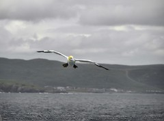 Shetland sea birds 3/15