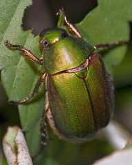 Cupreous Chafer, ドウガネブイブイ, Anomala cuprea (aeschylus18917) Tags: macro nature japan insect nikon g beetle micro 日本 nikkor f28 vr chafer pxt coleoptera 105mm insecta 甲虫 105mmf28 scarabaeidae rutelinae カブトムシ macrolicious 105mmf28gvrmicro anomala d700 nikkor105mmf28gvrmicro ダニエル 兜虫 macrolife rutelini danielruyle aeschylus18917 danruyle druyle ルール ダニエルルール cupreouschafer ドウガネブイブイ anomalina anomalacuprea