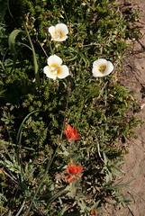 Mariposa Lily & Paintbrush (p medved) Tags: nature oregon hiking hike mthood wilderness mounthood mcneilpoint