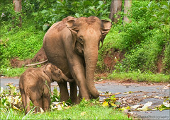 Feeding Time (Shanz Photography (Back)) Tags: elephant wildlife wayanad tholpetty tirunelly