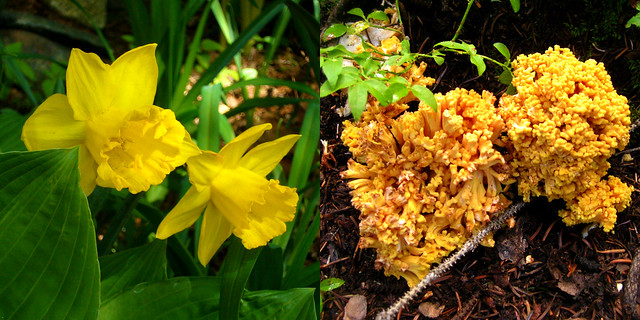 Daffodils & Mountain 'Shrooms