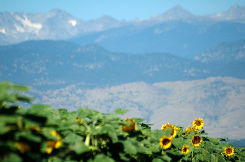 Sunflowers with mountain backdrop