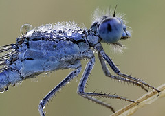 Dew-Covered Damselfly (magnetic lobster) Tags: macro nature bug insect md drop dewdrop explore dew damselfly odonata familiarbluet explored odonates solomonsmaryland