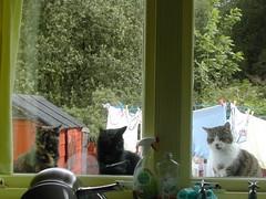The three Amigos! (Amber, Ebony and Rino) (Mary Nevtrav) Tags: catnipaddicts
