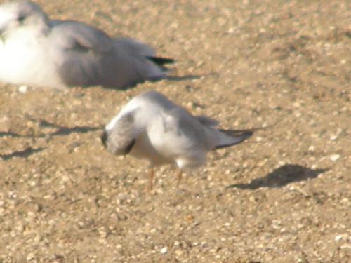 non breeding Forster's Tern
