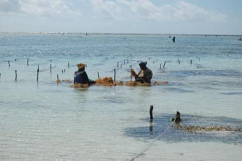 Seaweed farm at Zanzibar