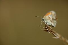 Mélancolie (Fabrice Cadillon) Tags: nature butterfly papillon charente 2010 poitou charentes poitoucharentes