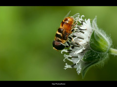 Busy Bee.. (Vijay..) Tags: vijay green nature composition canon bokeh minimalism supermacro busybee phulwadhawa