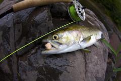 My 1st pink! A nice male (zbyron) Tags: pink fall minnesota canon fly fishing north salmon fisheye tokina shore 1017 40d