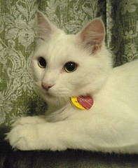 Introducing Pixie! (cedar*heart) Tags: pets cat pixie