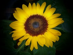 September Sunflower HD (Cheri Sundra: Guerrilla Historian) Tags: usa nature yellow pennsylvania september sunflower nepa wilkesbarre luzernecounty wyomingvalley photosandcalendar commonwealthpa afhht cherisundra cherylsundra guerillahistorian guerrillahistorian