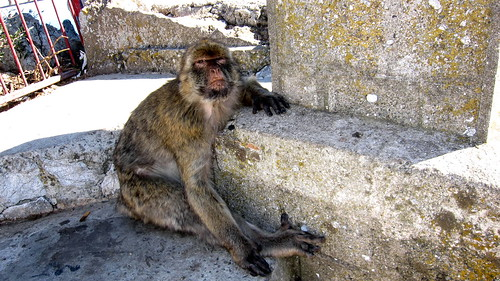 gibraltar: barbary monkey