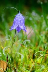 After The Rain II [Explored] (B.AA.S.) Tags: flower nature norge droplets natur straw dew getty blomst waterdroplets harebell dugg vanndråper strå buskerud blåklokke nedreeiker