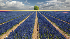 Hyacinths & Tree (larsvandegoor.com) Tags: flowers sky holland tree netherlands field lines clouds landscape purple stripes perspective hyacinth larsvandegoor friendoffriends thesecretlifeoftrees